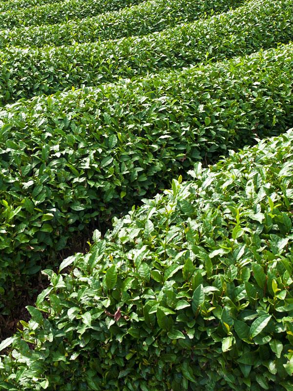 Real Green Tea Plant Camellia Sinensis Sweetcanes Com