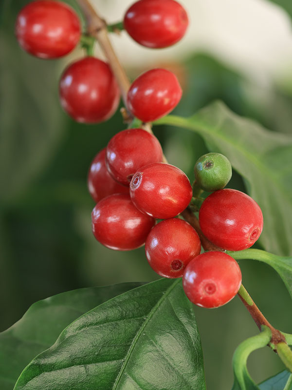 1 Rooted Live Coffee Plant Cofea arabica