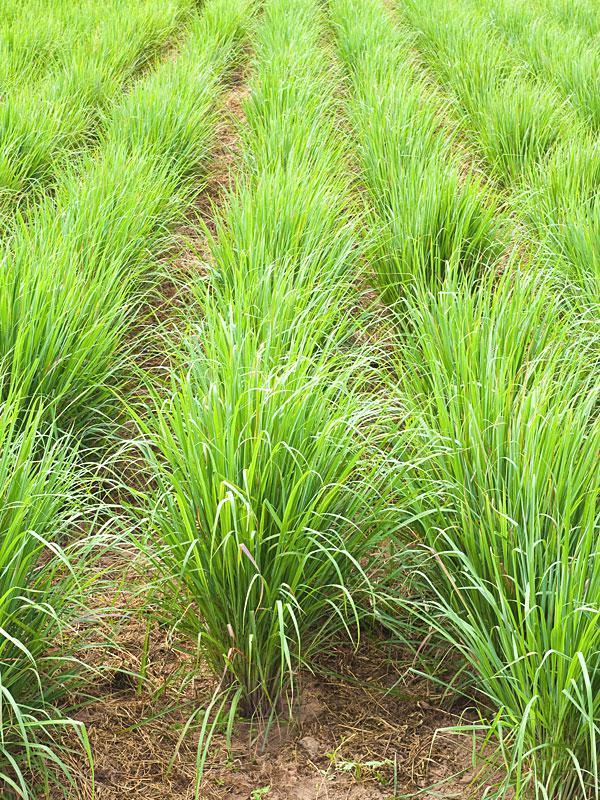 2 Xl Asian Lemon Grass Plants Cymbopogon Flex Sweetcanes Com